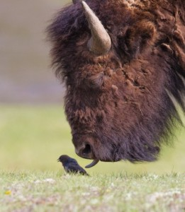 buffalo-licks-bird-600x688